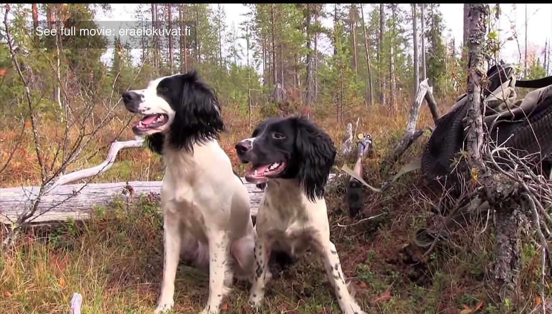 Metsästysspanielit riistamailla - Videosara, 2015