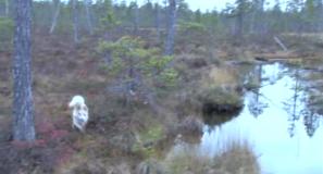 Pohjanpystykorva metsästyskoirana